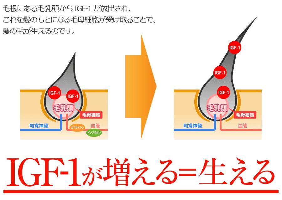 IGF-1育毛の仕組み